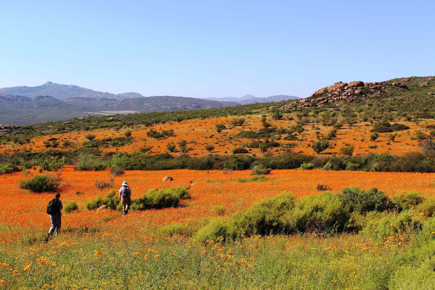 ナマクワ国立公園内のトレイルをハイキング、ナマクワデイジーのオレンジがまぶしい(7日目)