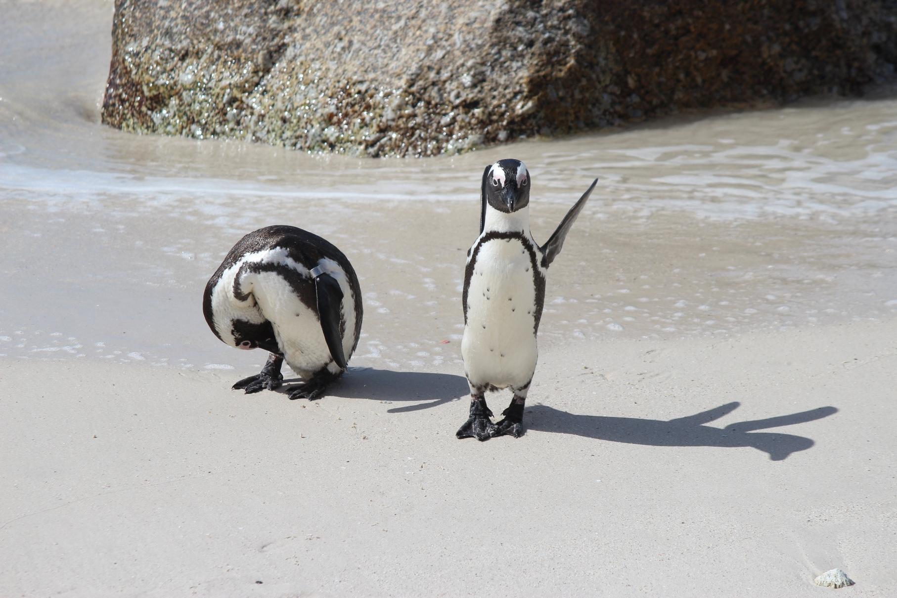 かわいらしいケープ・ペンギン(10日目)