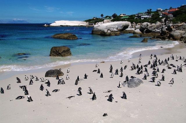 ボルダーズビーチのペンギン(5日目)