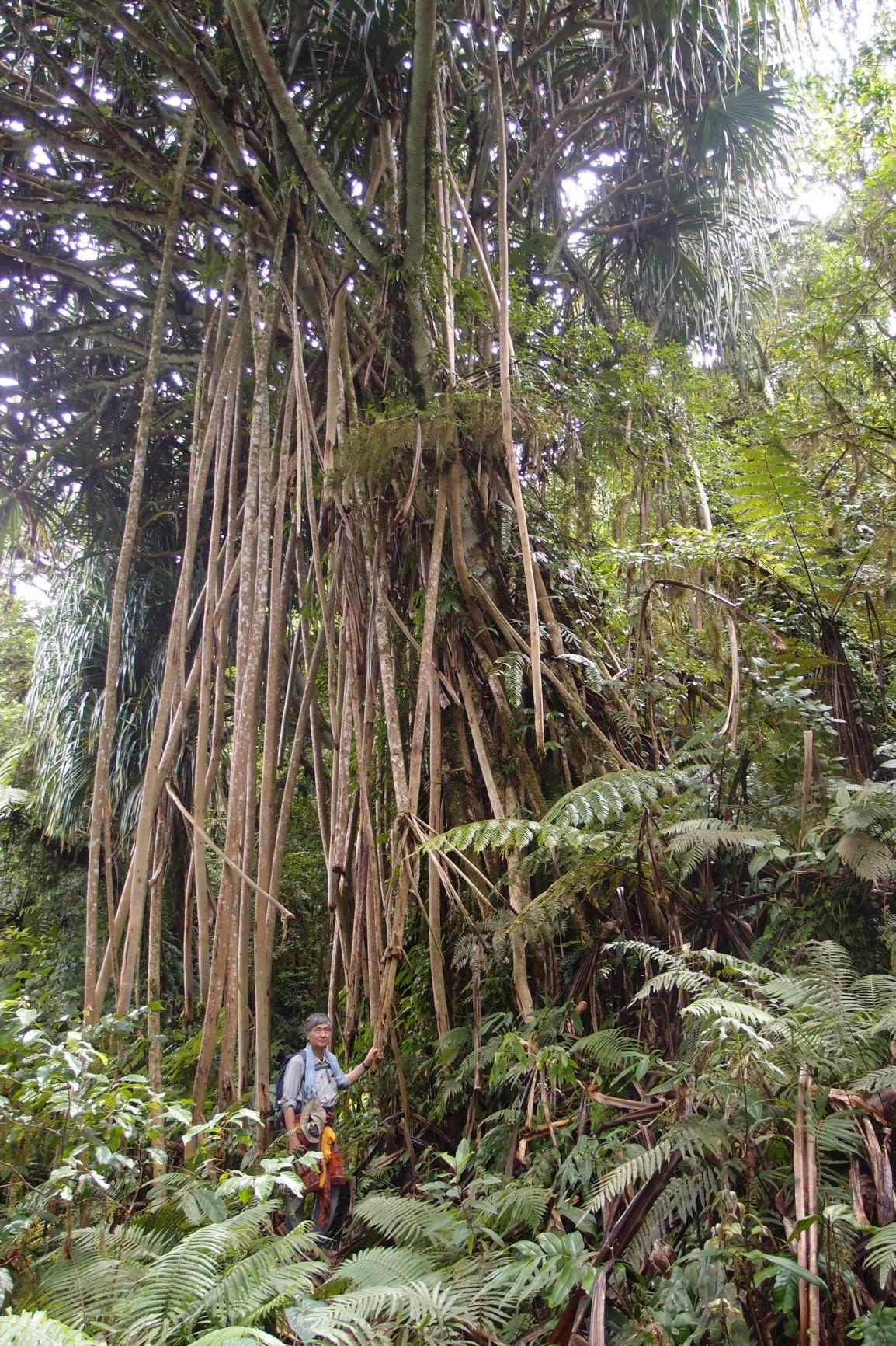 パンダナス(タコノキ属)の木(2日目)