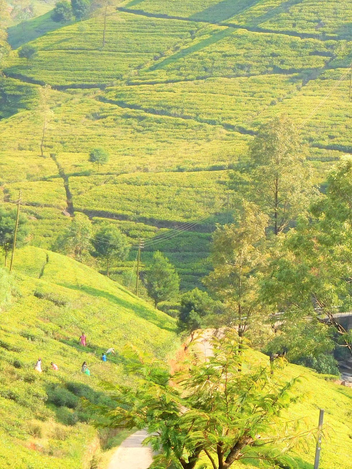 緑美しい紅茶畑(2日目)
