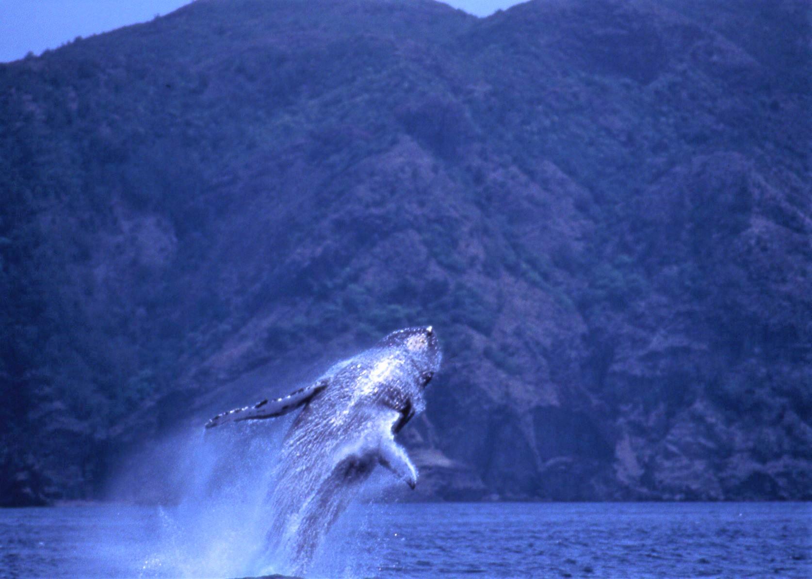 オプショナルツアー・半日ボートツアー・ザトウクジラ