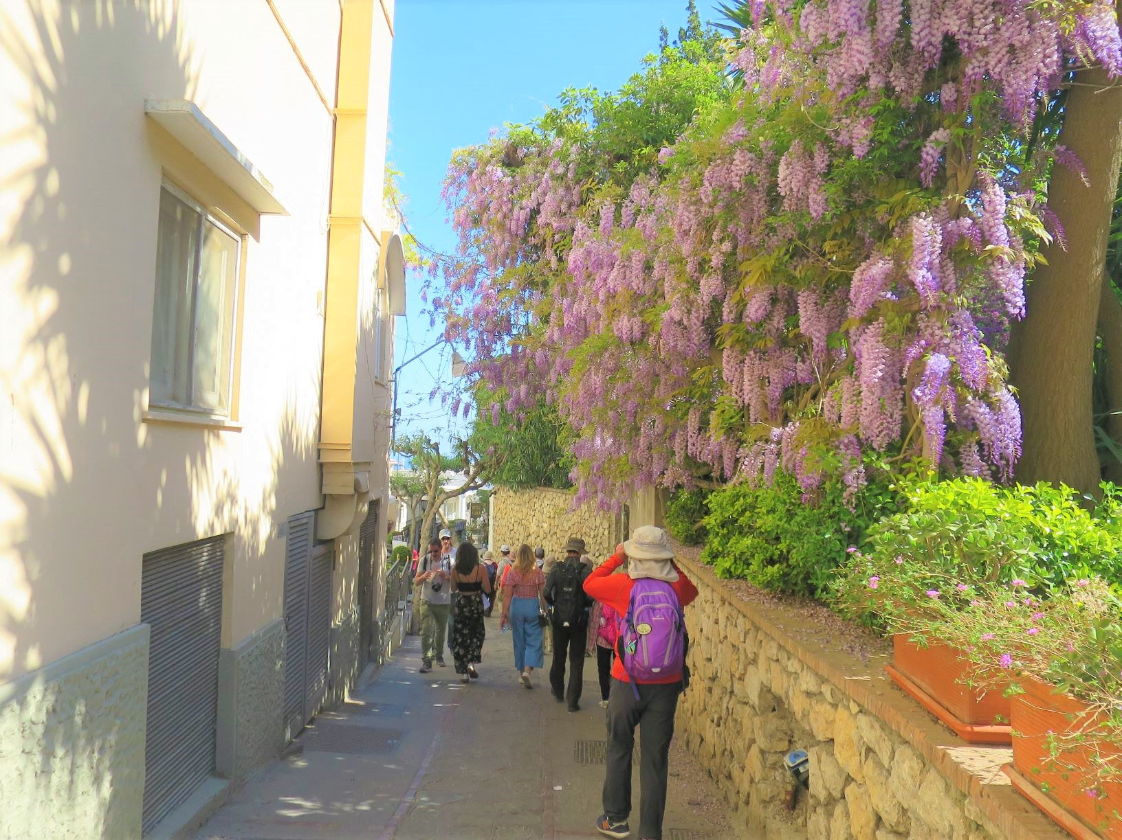 カプリ島の春を彩るフジの花(5日目)