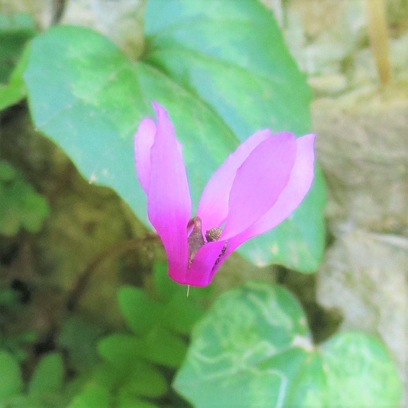 春の南イタリアに咲く花々