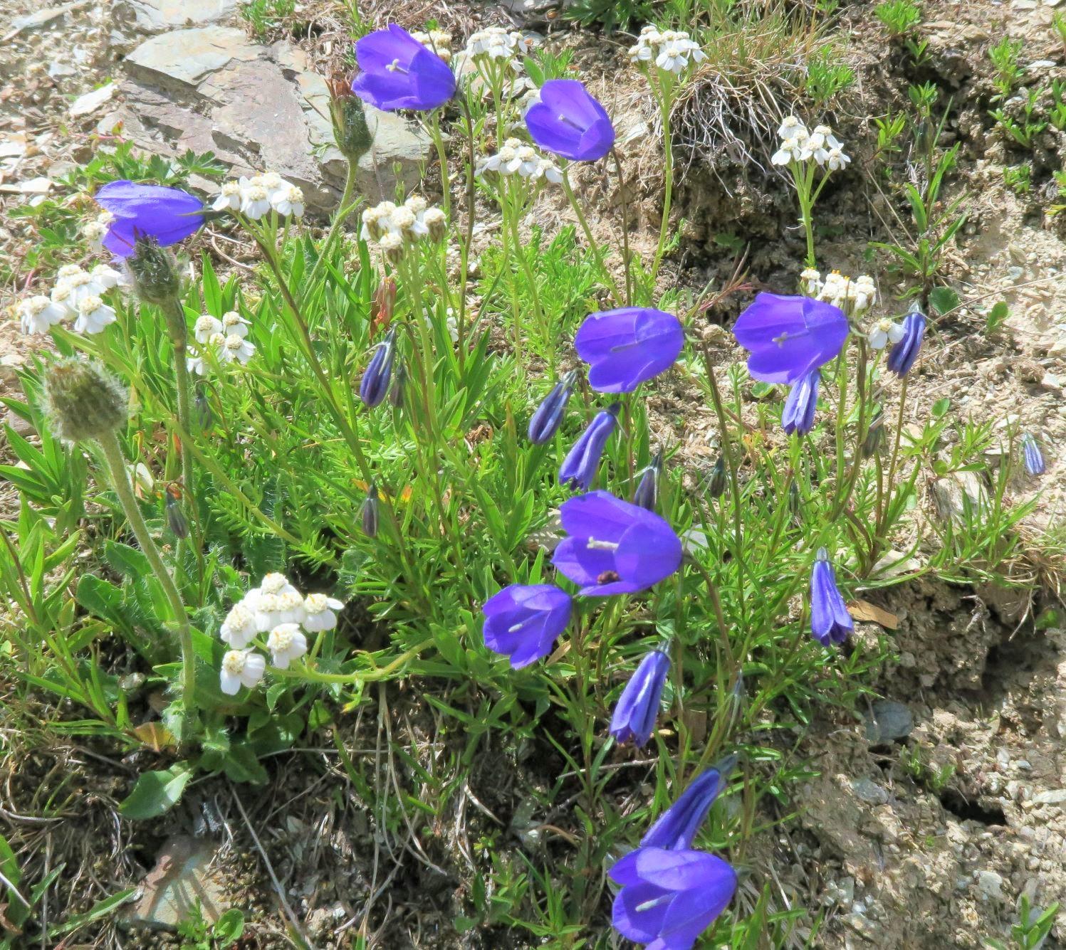 開花を迎えるアルプスの花々