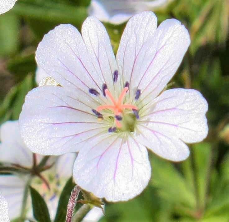 スイス・アルプスで出会った花々