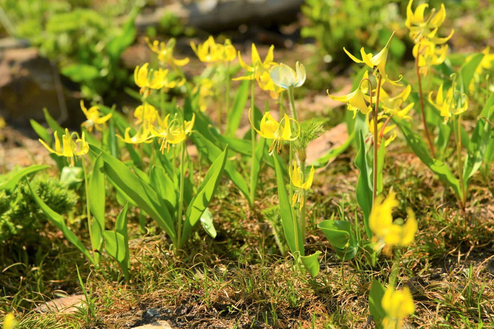 初夏に咲く黄色いカタクリ