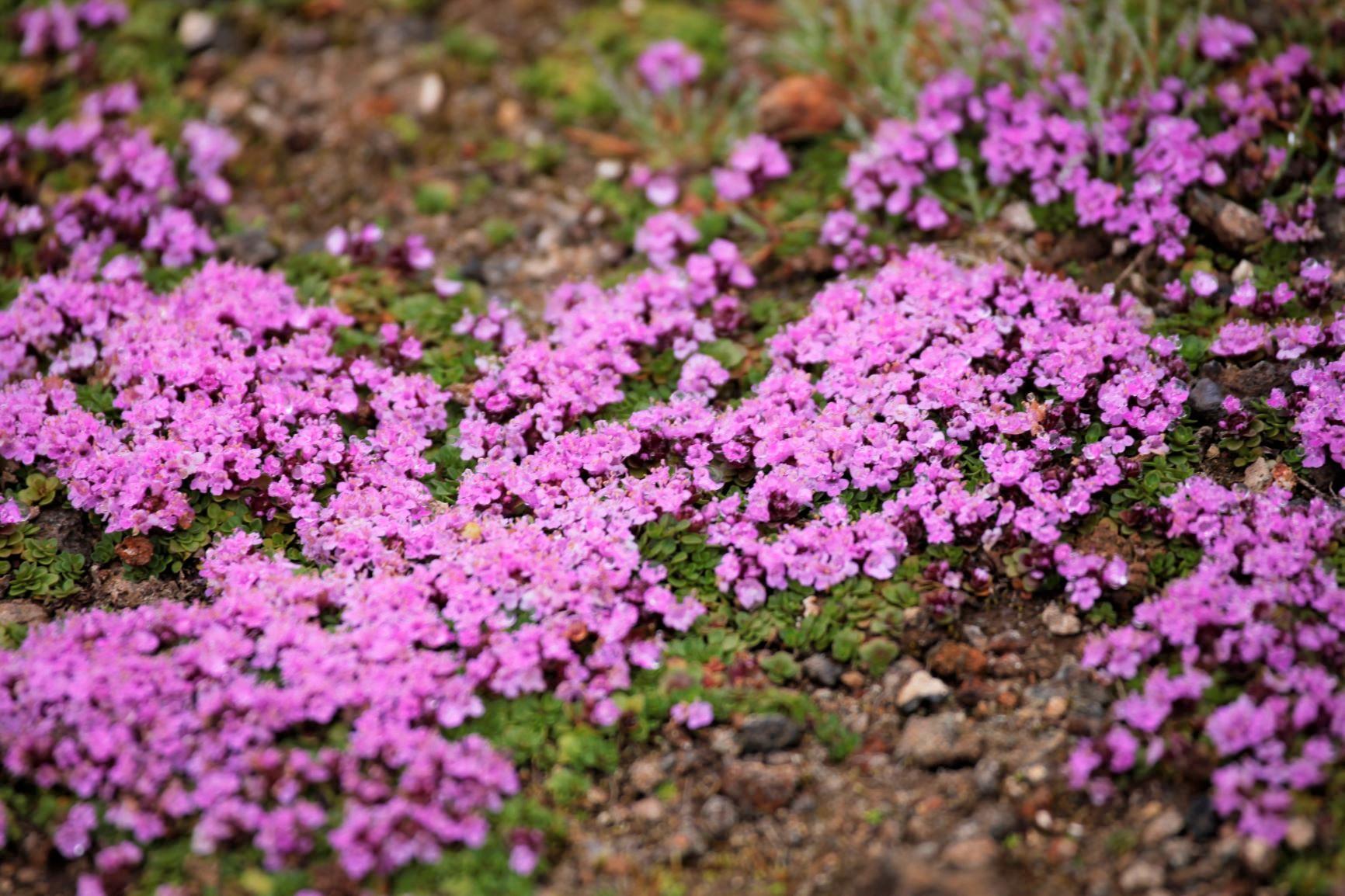 コケマンテマの花