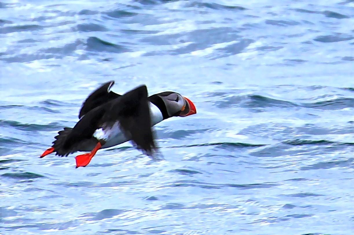 愛らしい海鳥パフィン