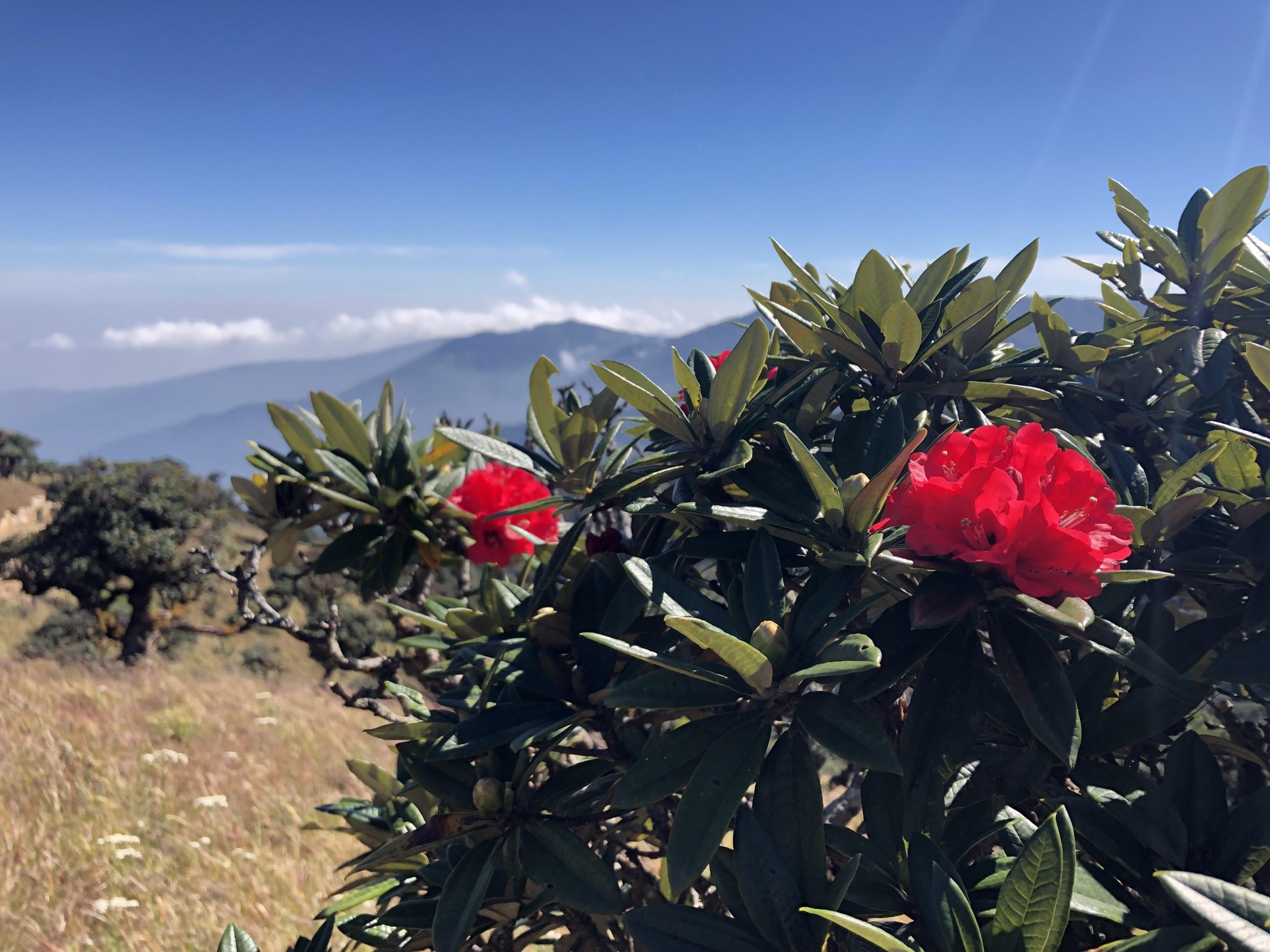 ビクトリア山に咲くシャクナゲ(4日目)