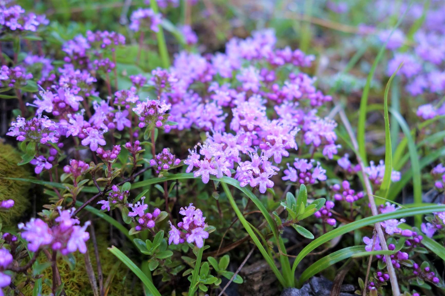 山麓を彩る可憐な花