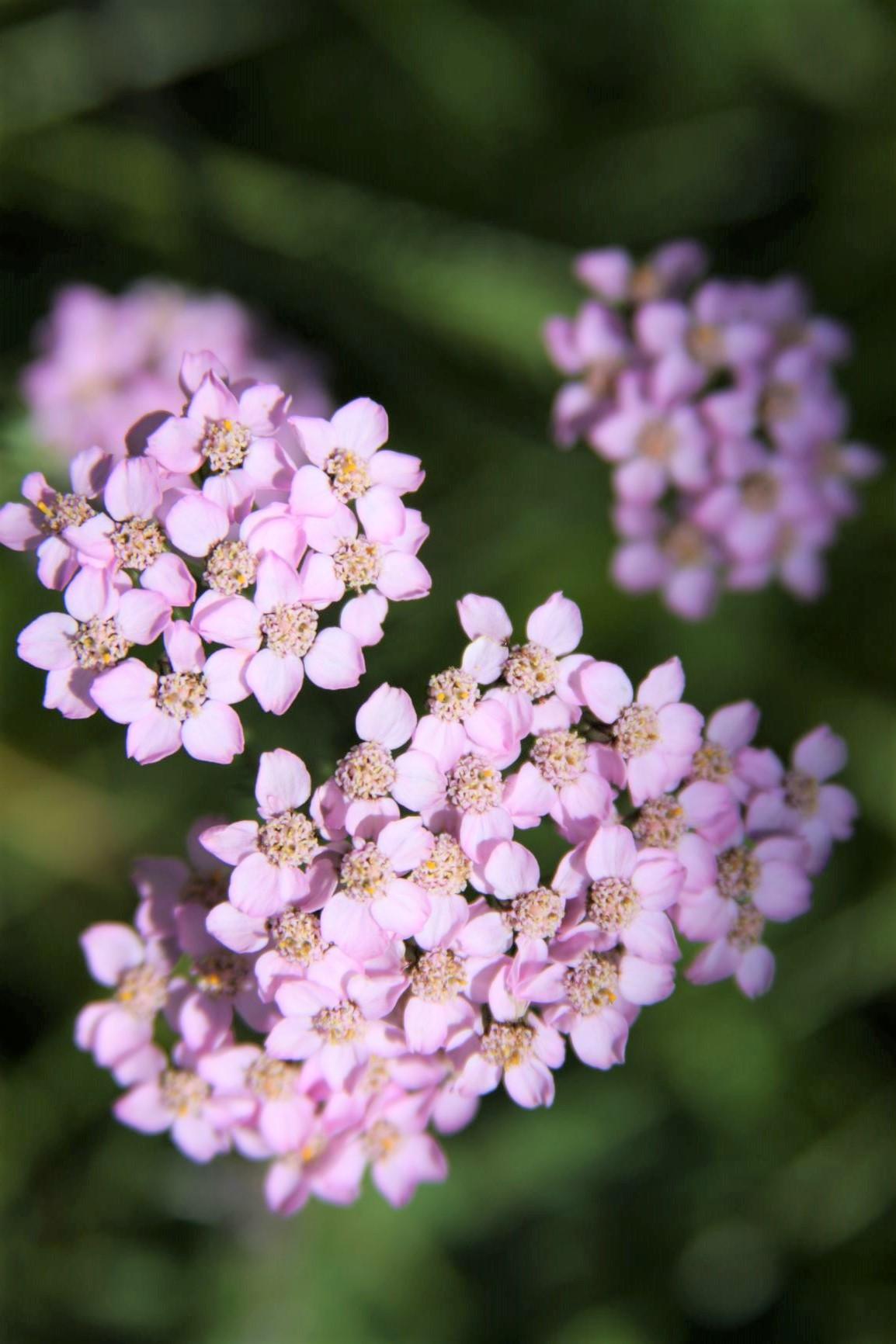色とりどりの高山植物