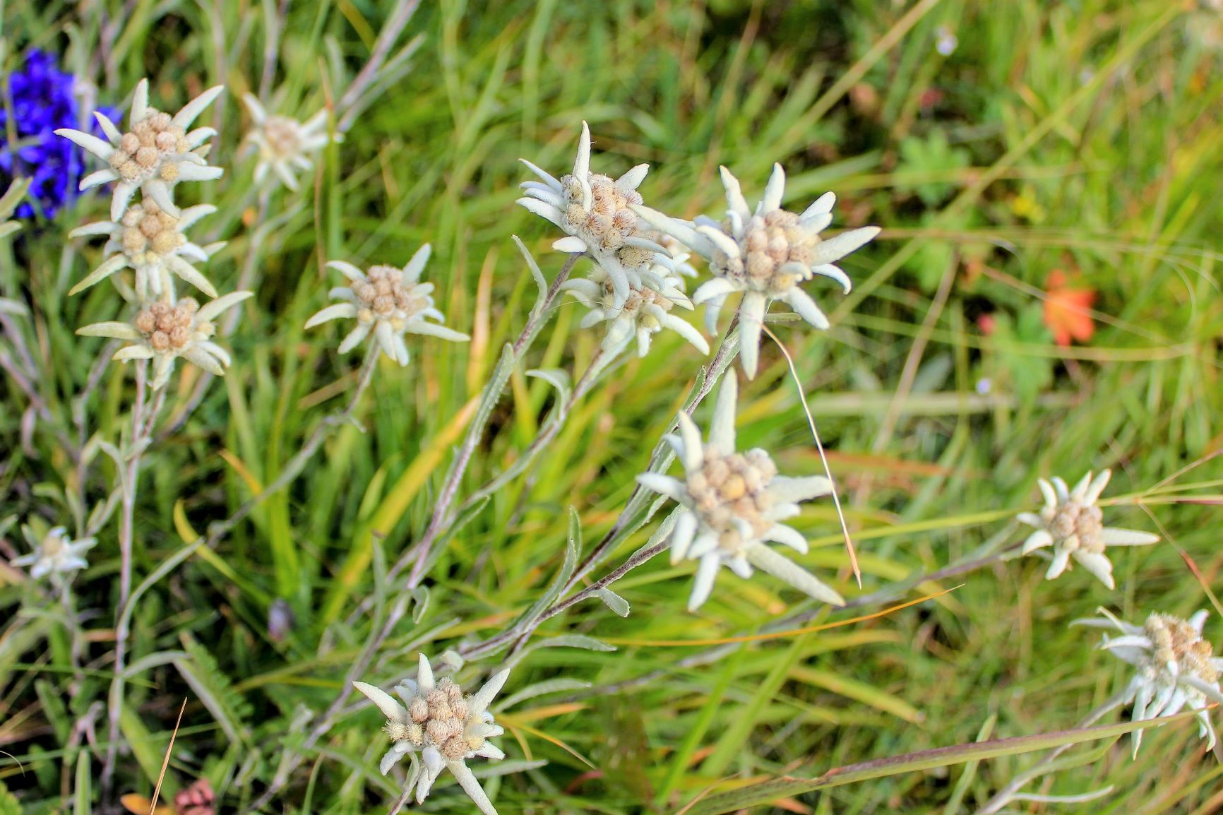 カルカラのキャンプサイト周辺には高山植物が多く咲く