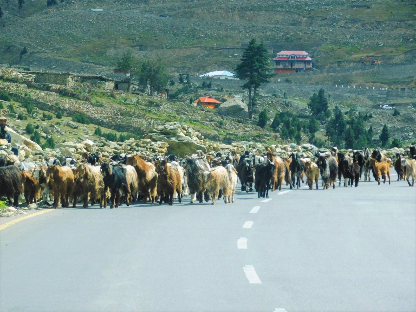 カラコルムハイウェイをヤギの群れが歩く