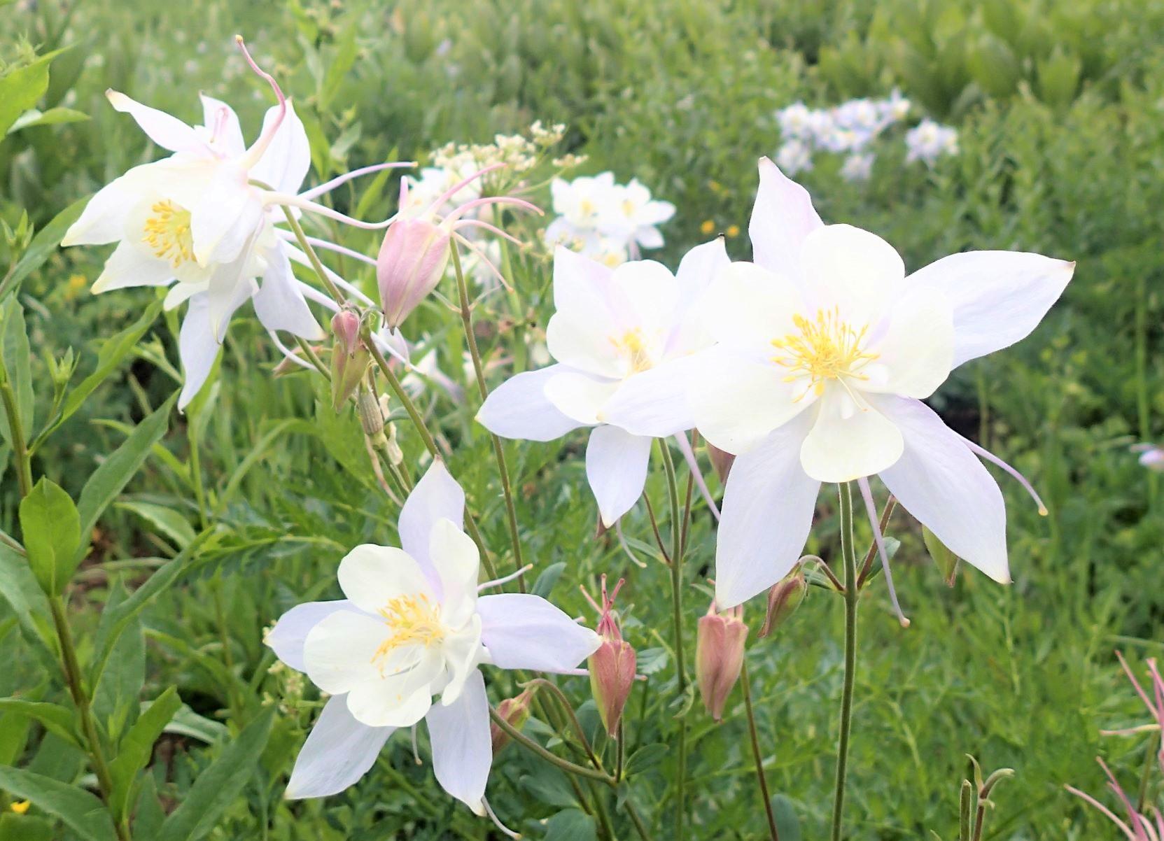 コロラドの州花、オダマキの野生種