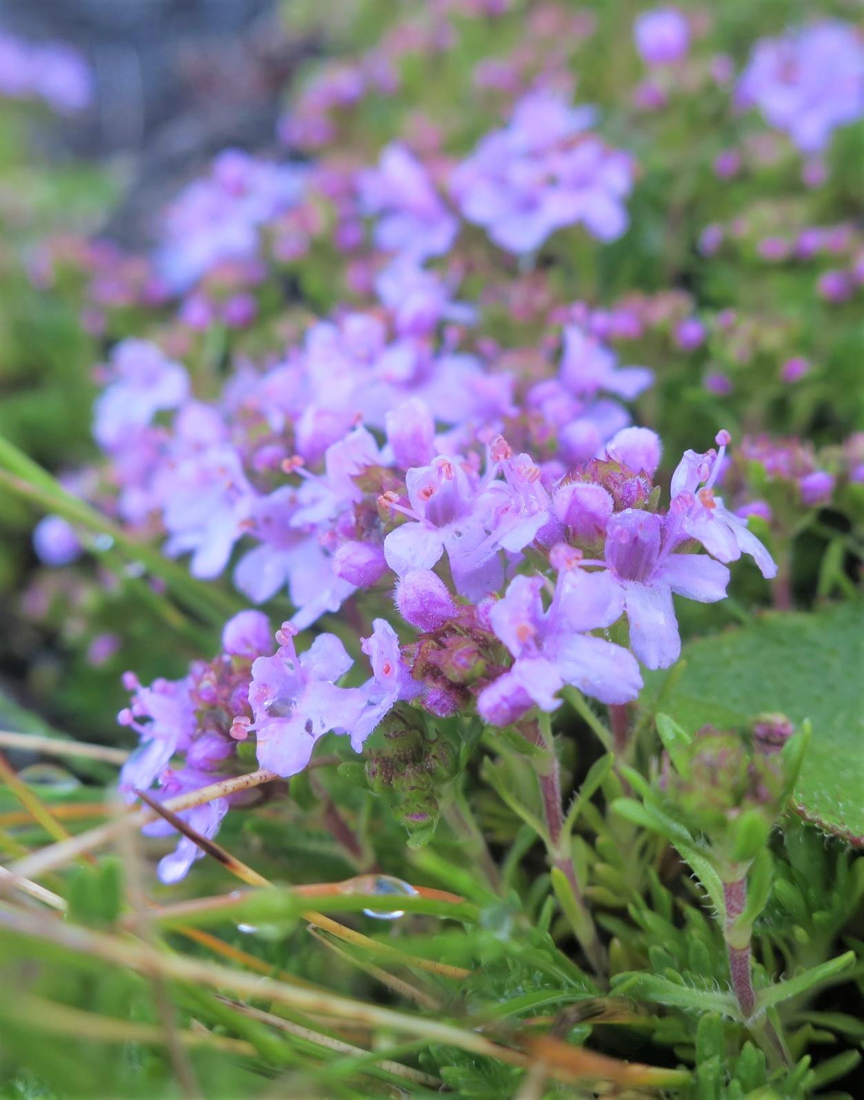アゾレス諸島を彩る花々(6月)
