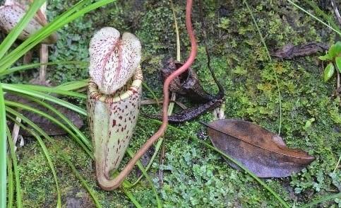 ウツボカズラの虫を捕る壺は葉の先に発達します