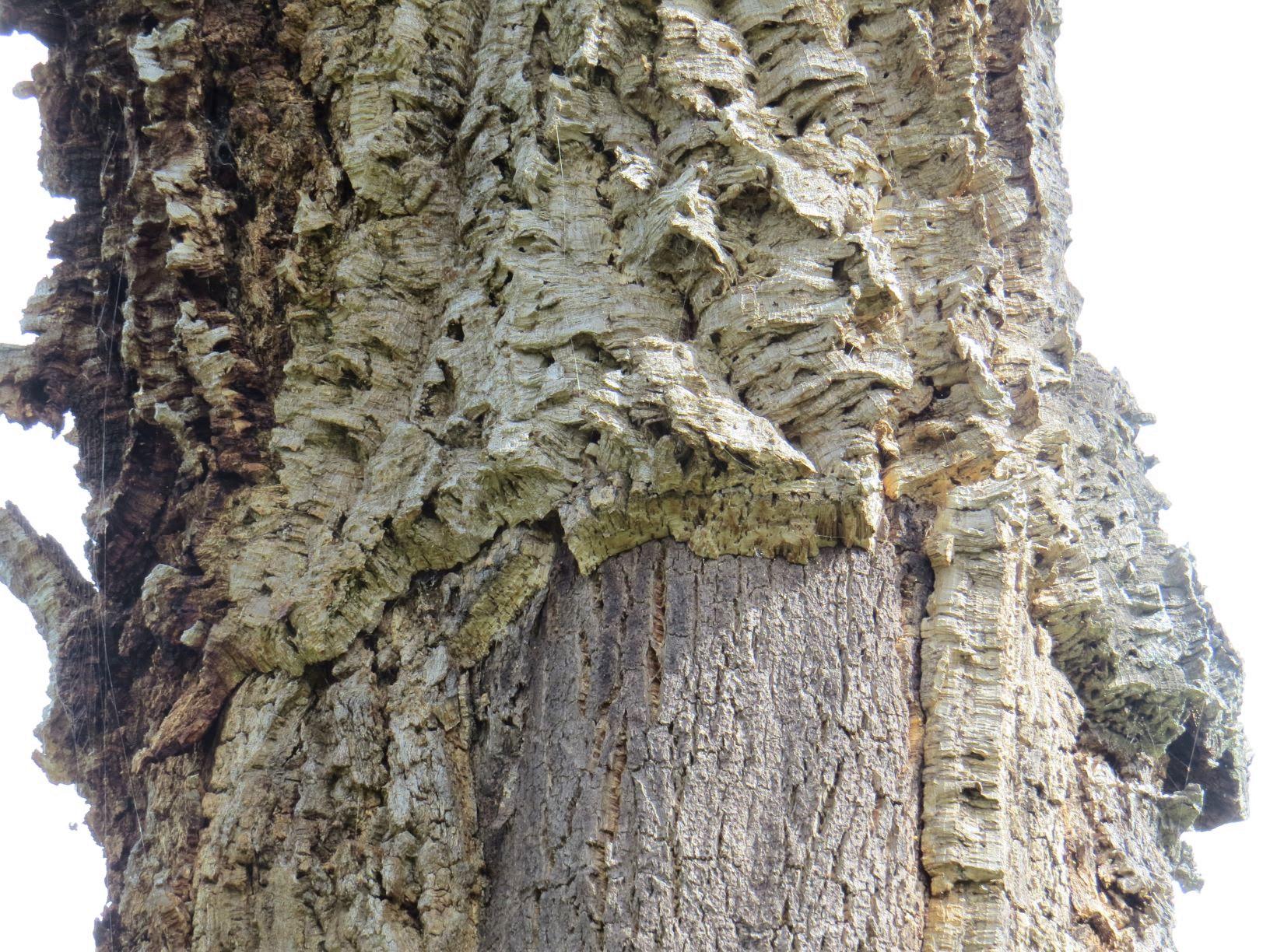 コルク樫の木