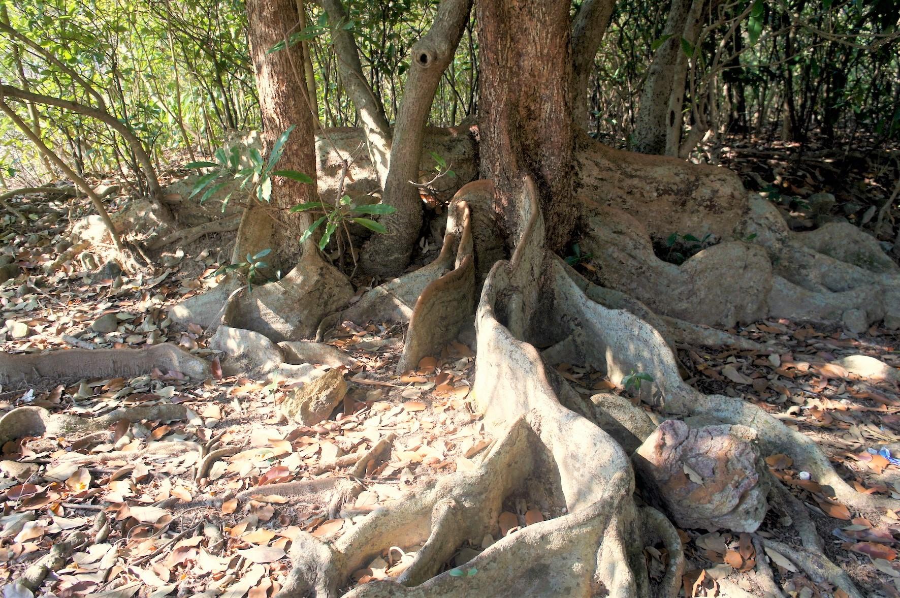板根が発達した熱帯ならではの樹木(3日目)