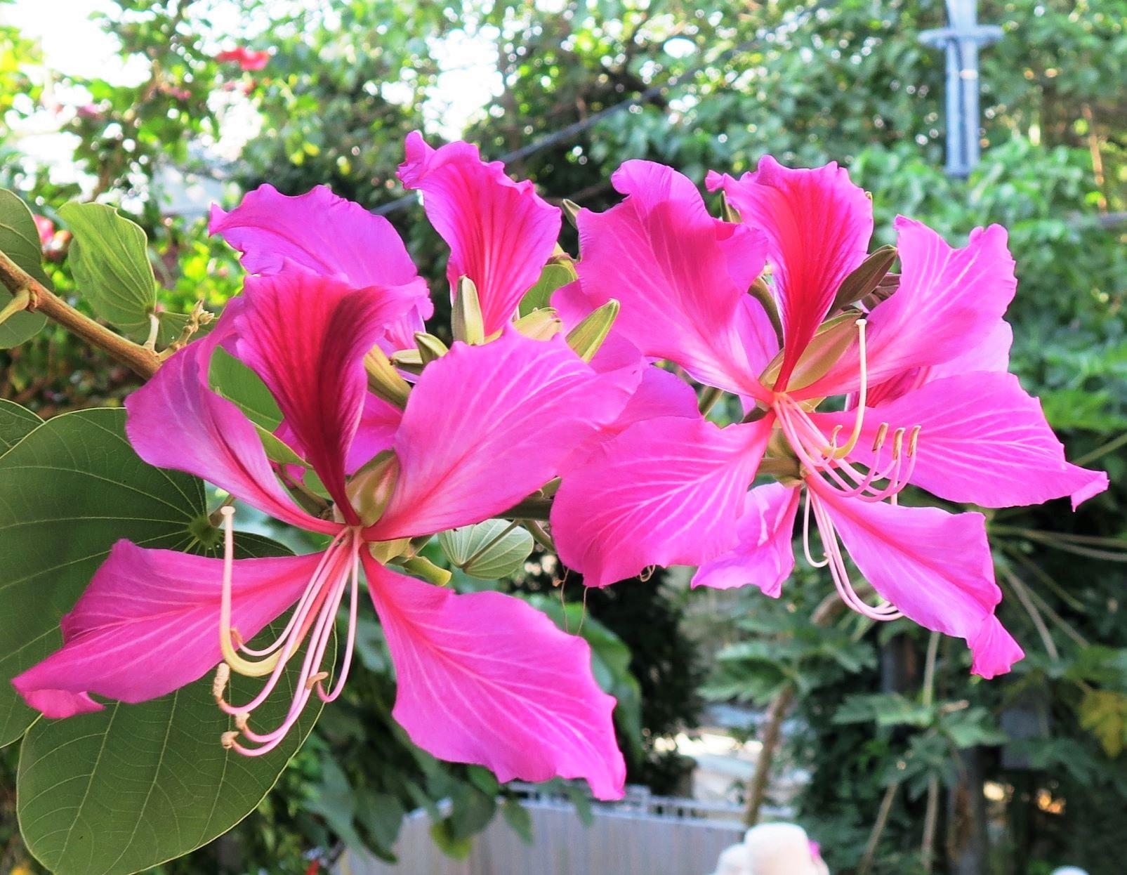 香港を象徴する花・バウヒニア