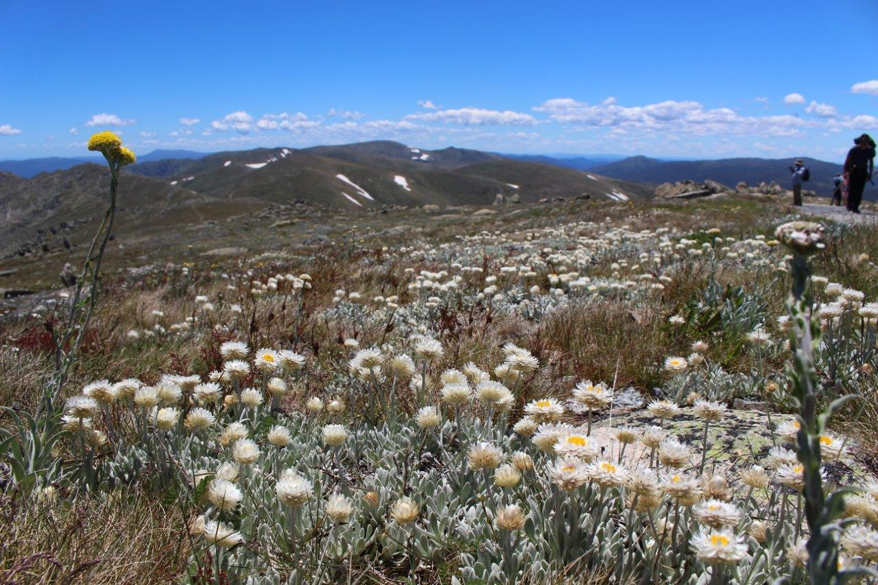 最盛期を迎える豊富な高山植物
