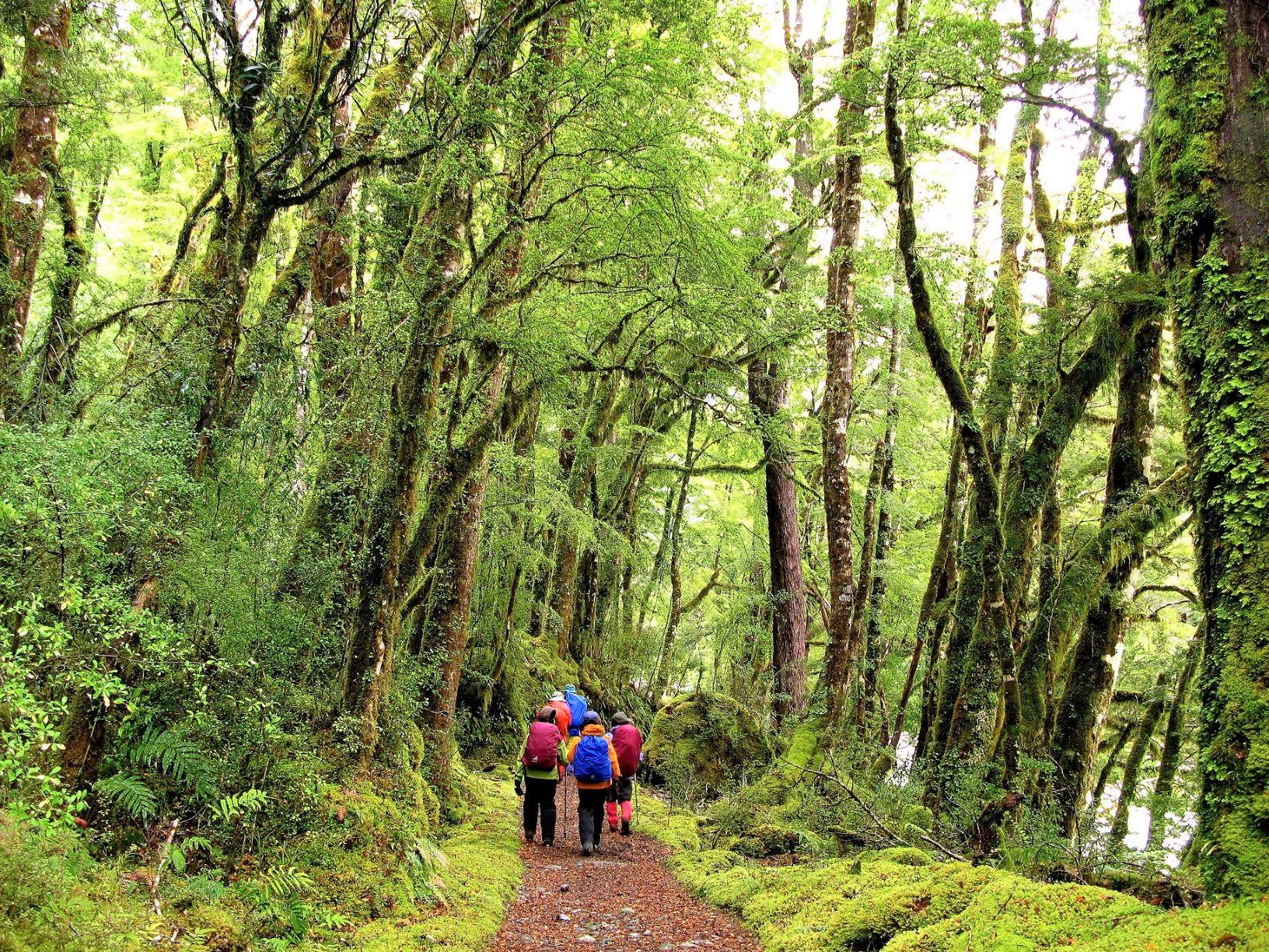 ミルフォード・トラックの美しいブナの森を歩く