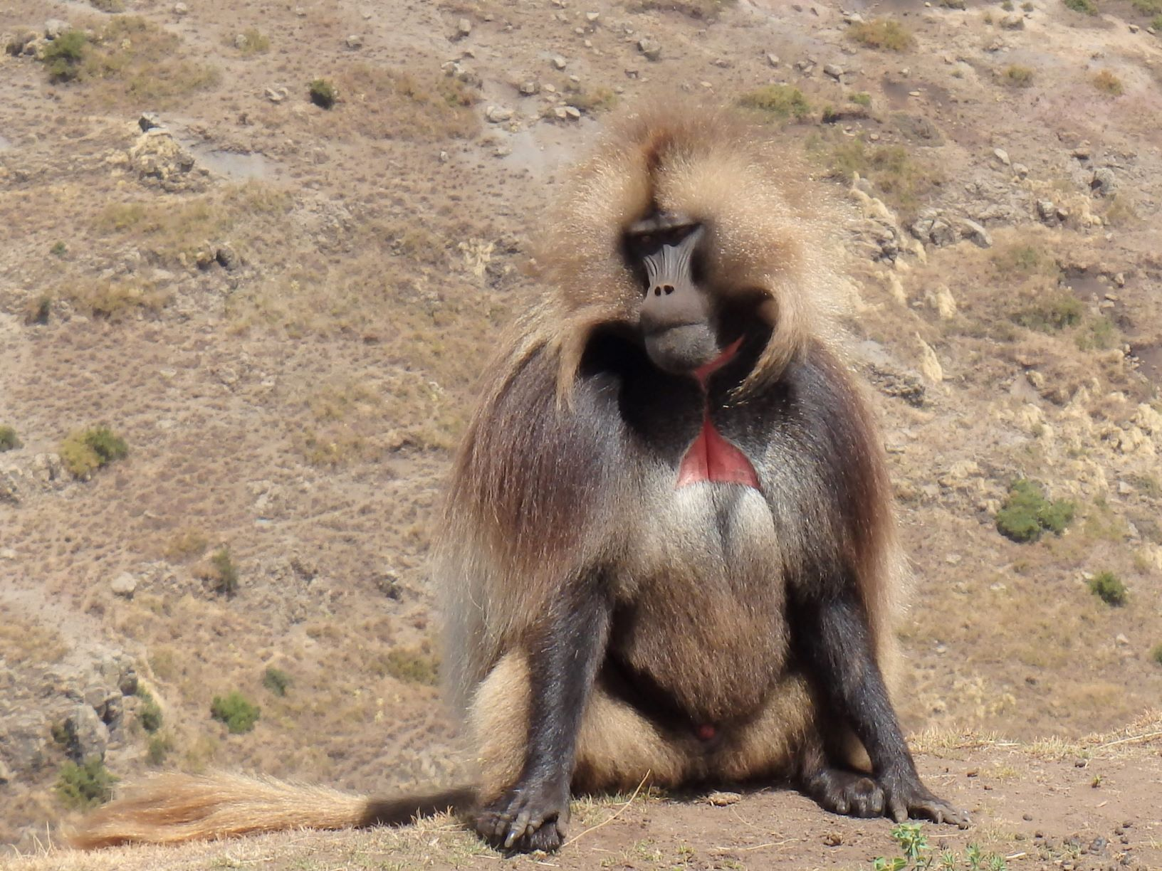 胸の赤い皮膚が特徴的なゲラダヒヒの雄