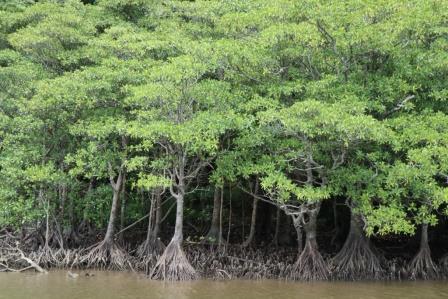マングローブの森を船で遡る