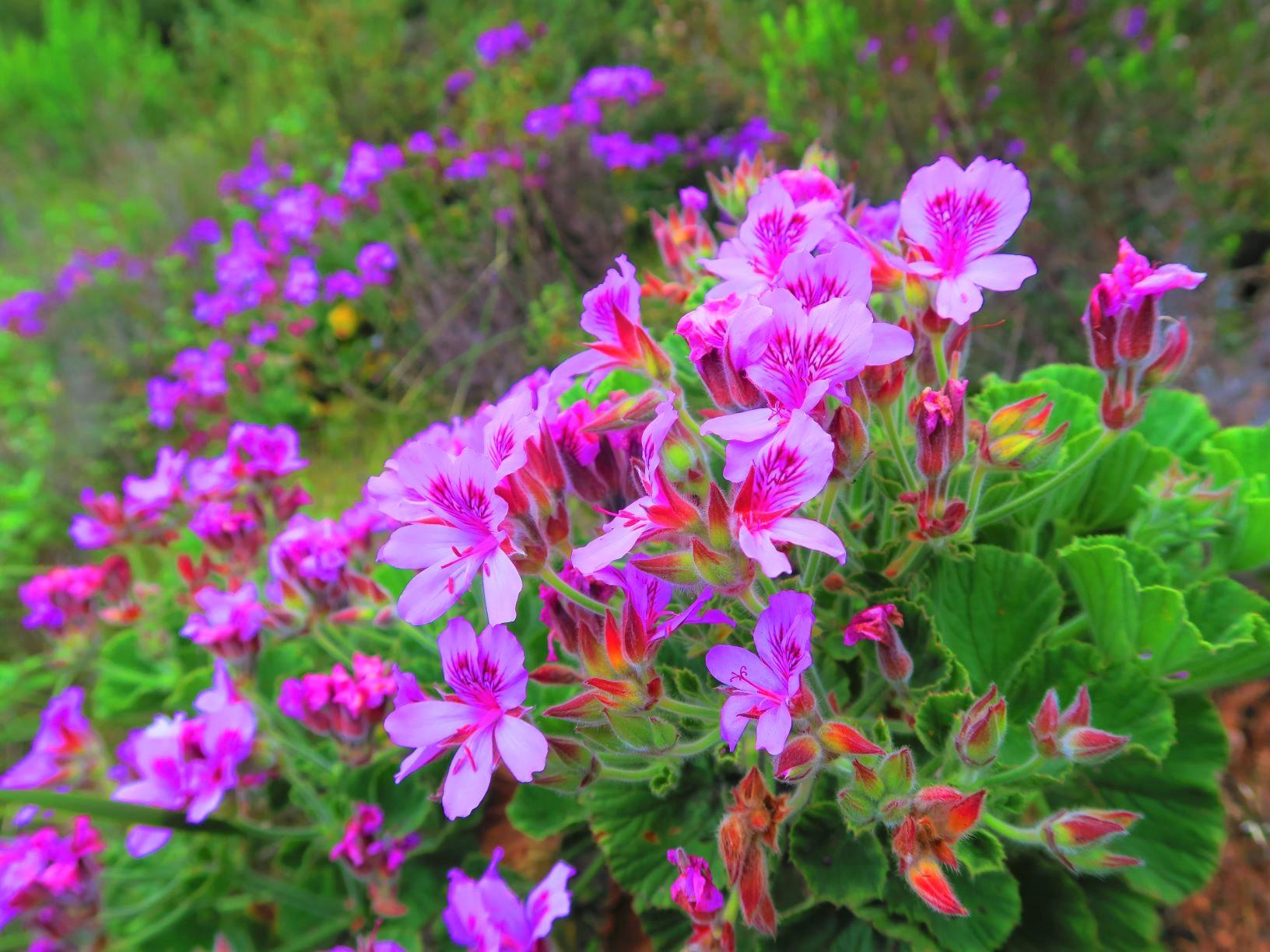 ペラゴニウムの可憐な花