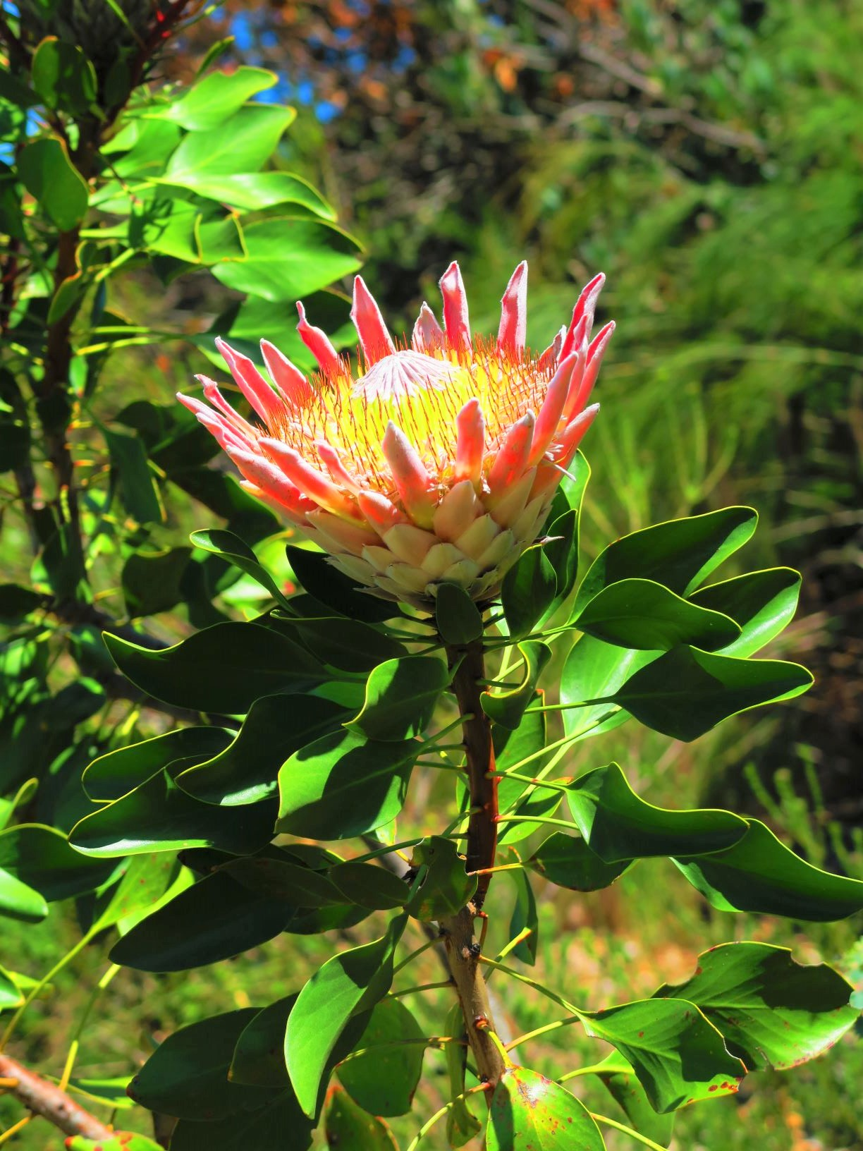 キングプロテアの花
