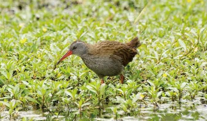 ナンベイクイナ 英名はボゴタ・レイルといい高原の湿地に生息しています