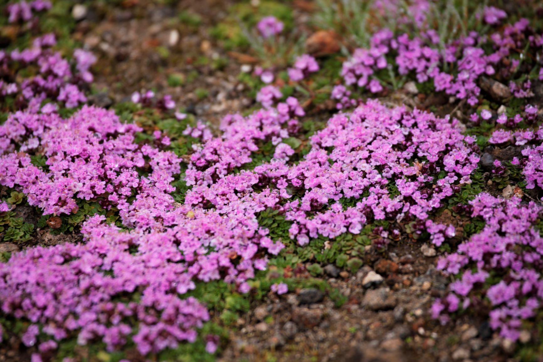 コメマンテマの花