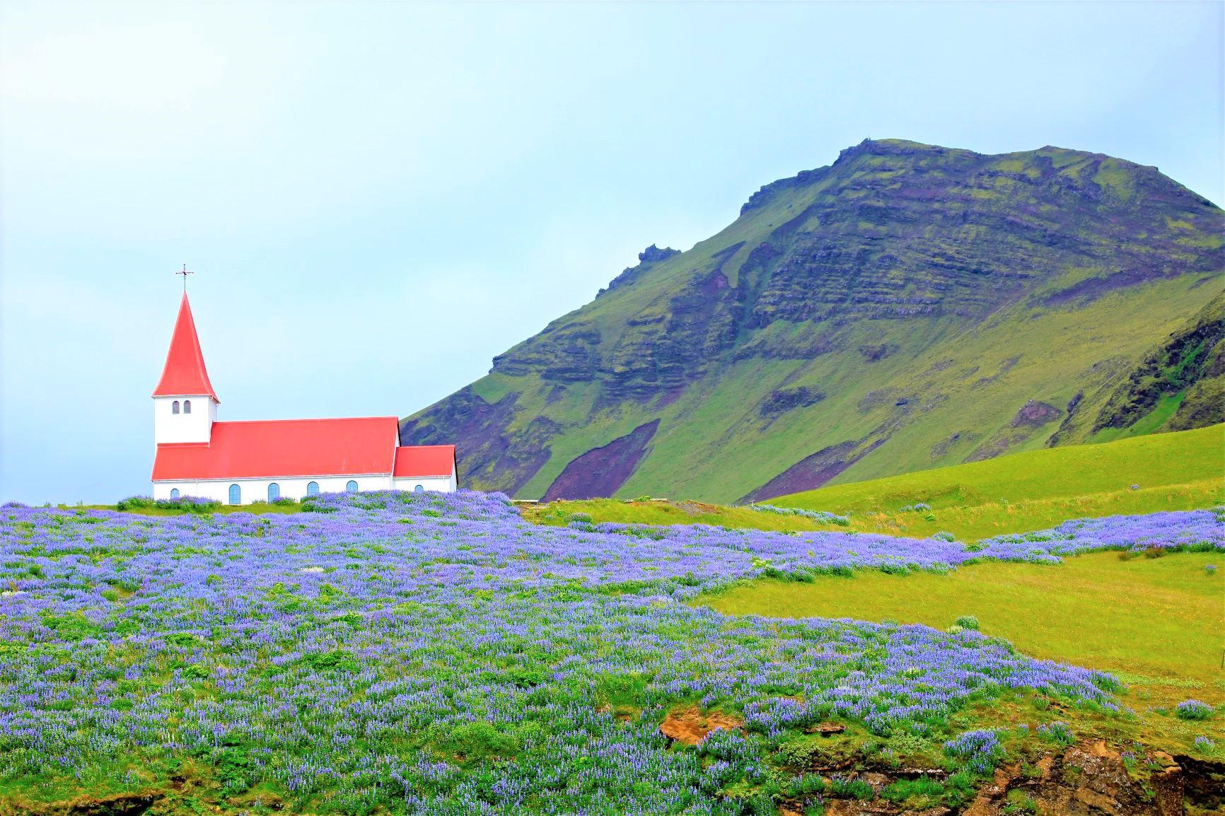 花咲く6月のアイスランドの海岸線