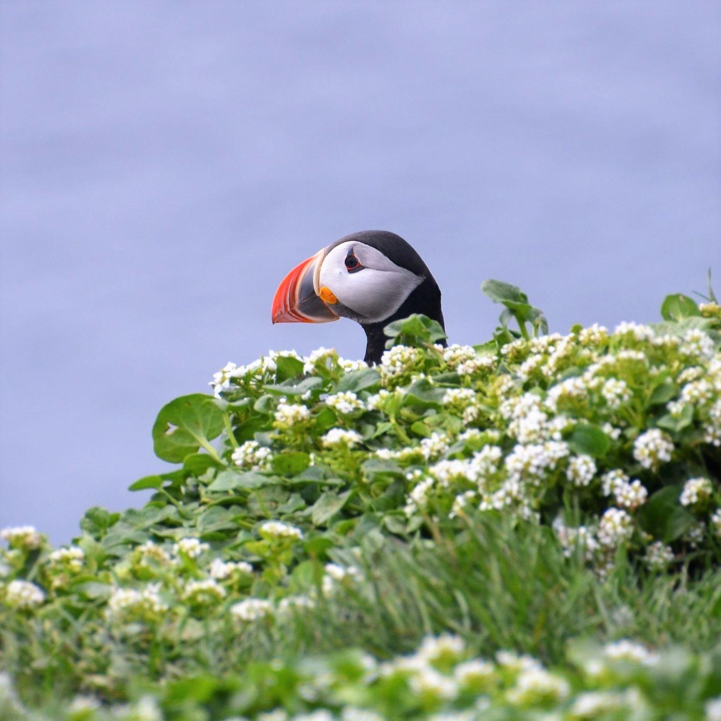可憐な花の奥から顔を出したグリムスエイ島のパフィン