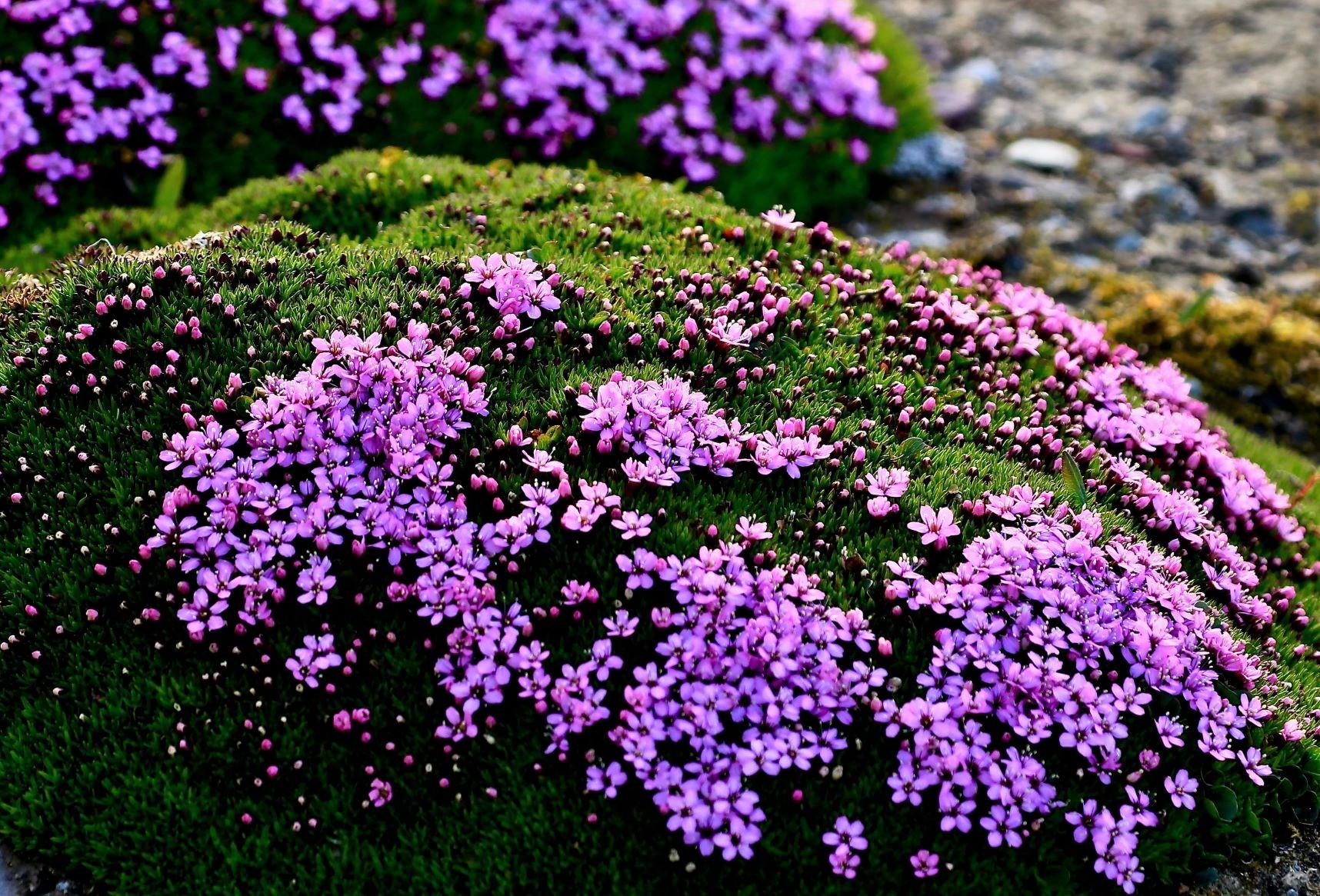 大地を彩るコケマンテマの花