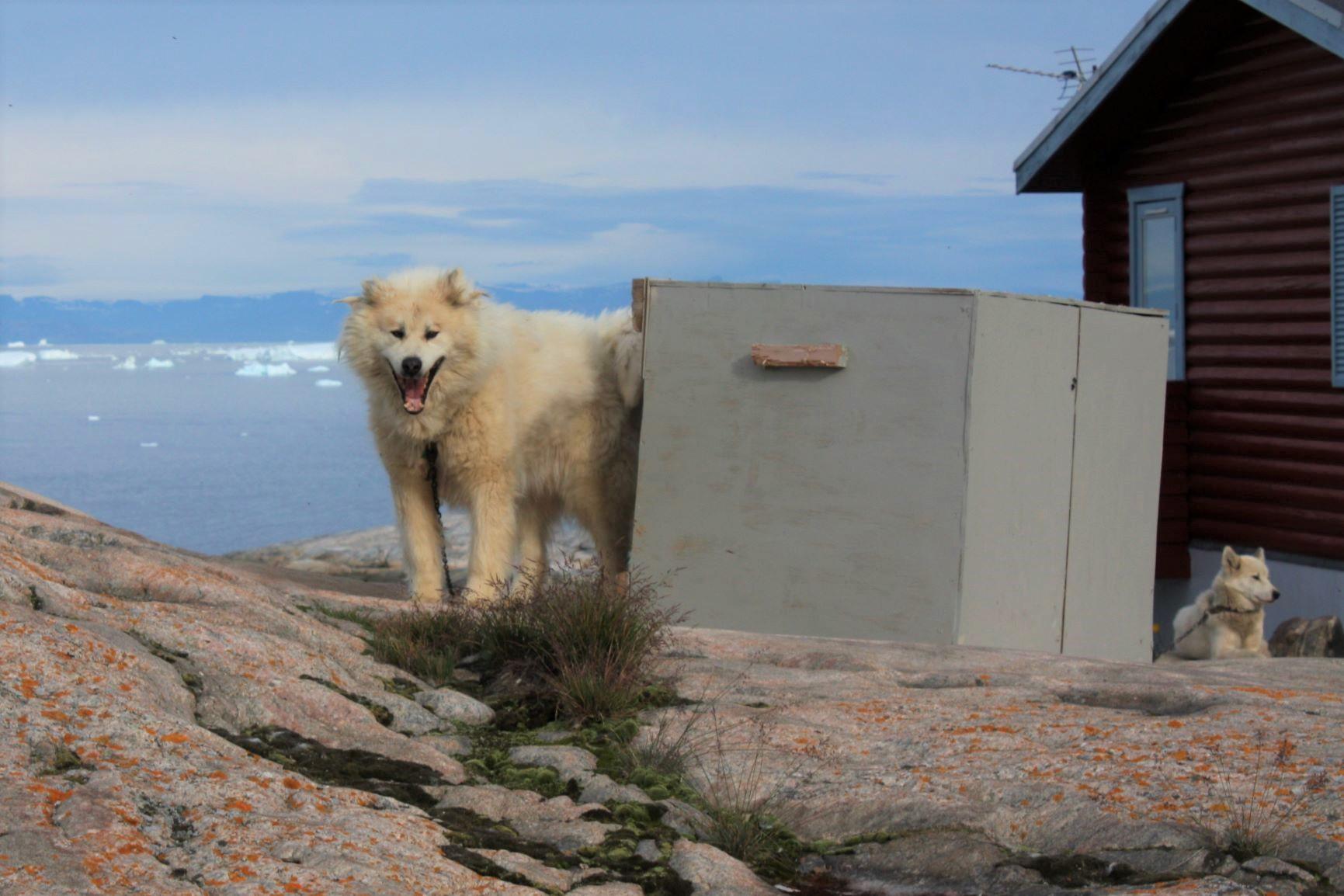 狩猟や犬ぞりに活躍するグリーンランド犬