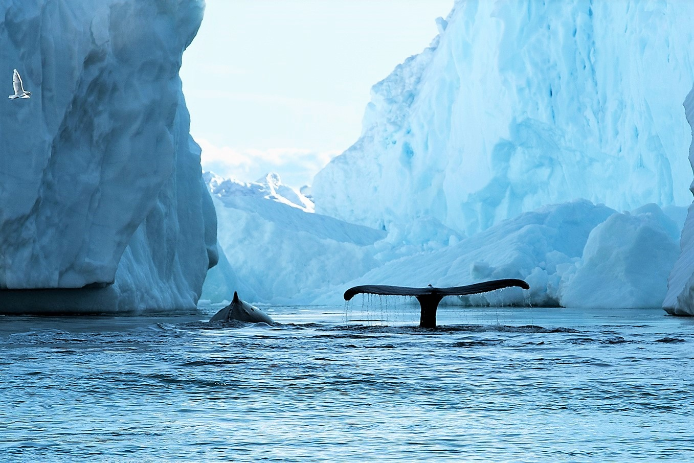氷山の脇をゆったりと泳ぐクジラ