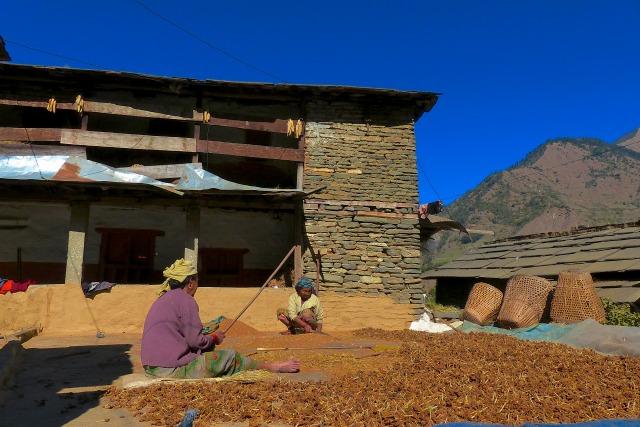 稗を脱穀する農夫