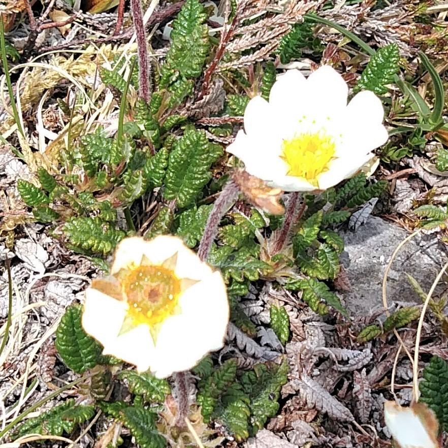 アイルランドの大地に咲く高山植物