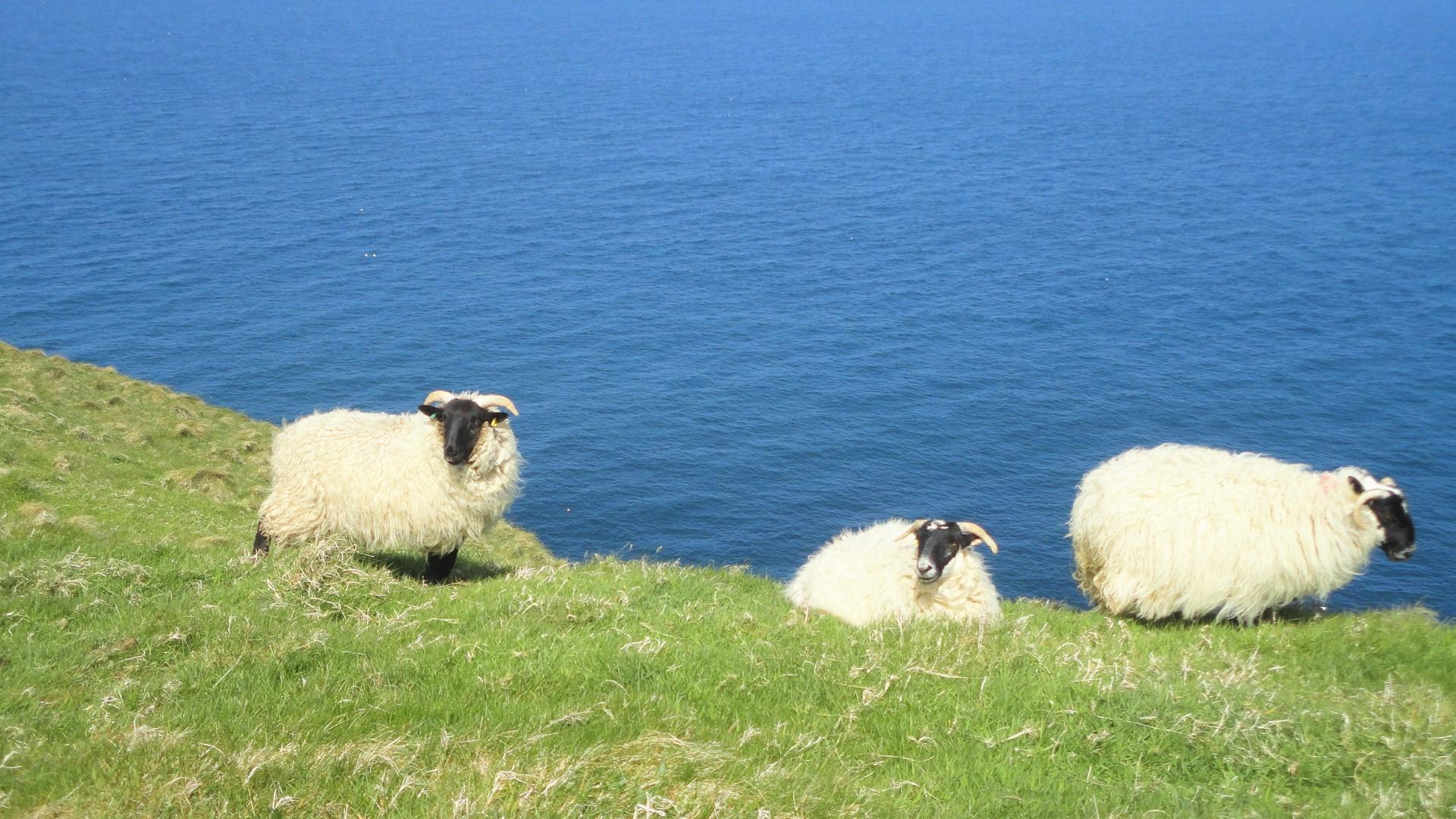 のんびり草を食む羊たち