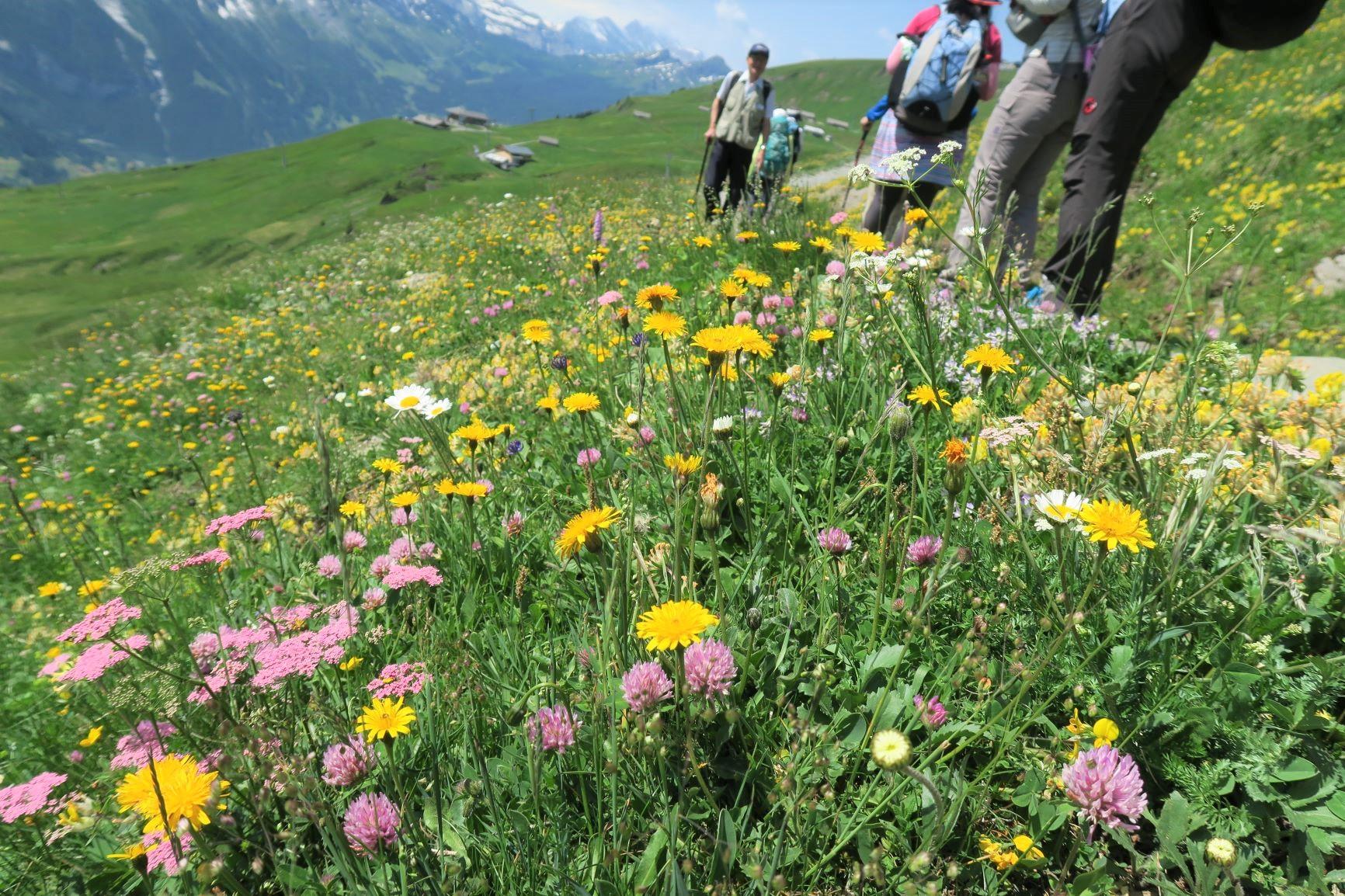 初夏から夏にかけて高山植物が咲き乱れる(3日目)