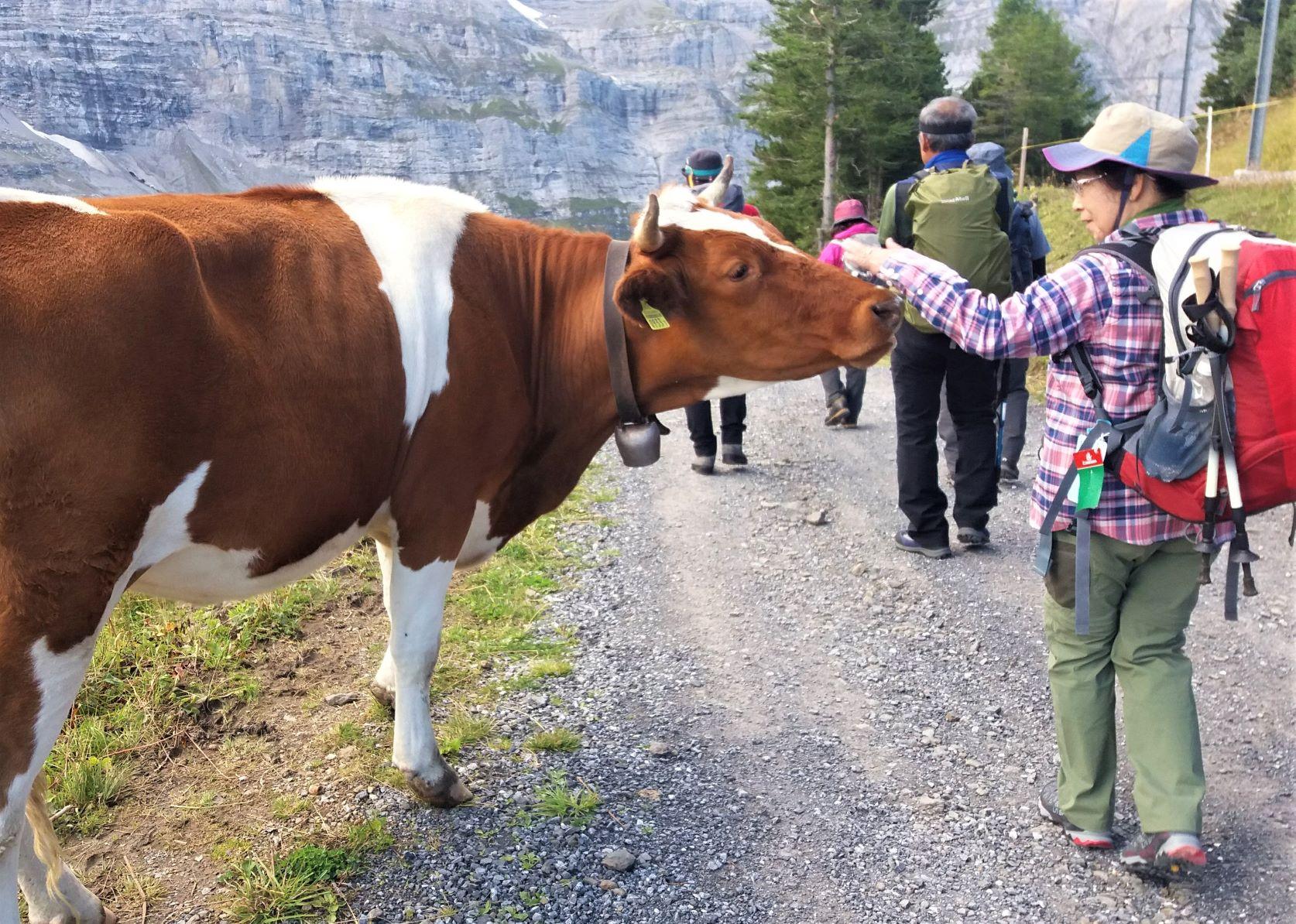 ハイキングの途中で放牧された牛に遭遇