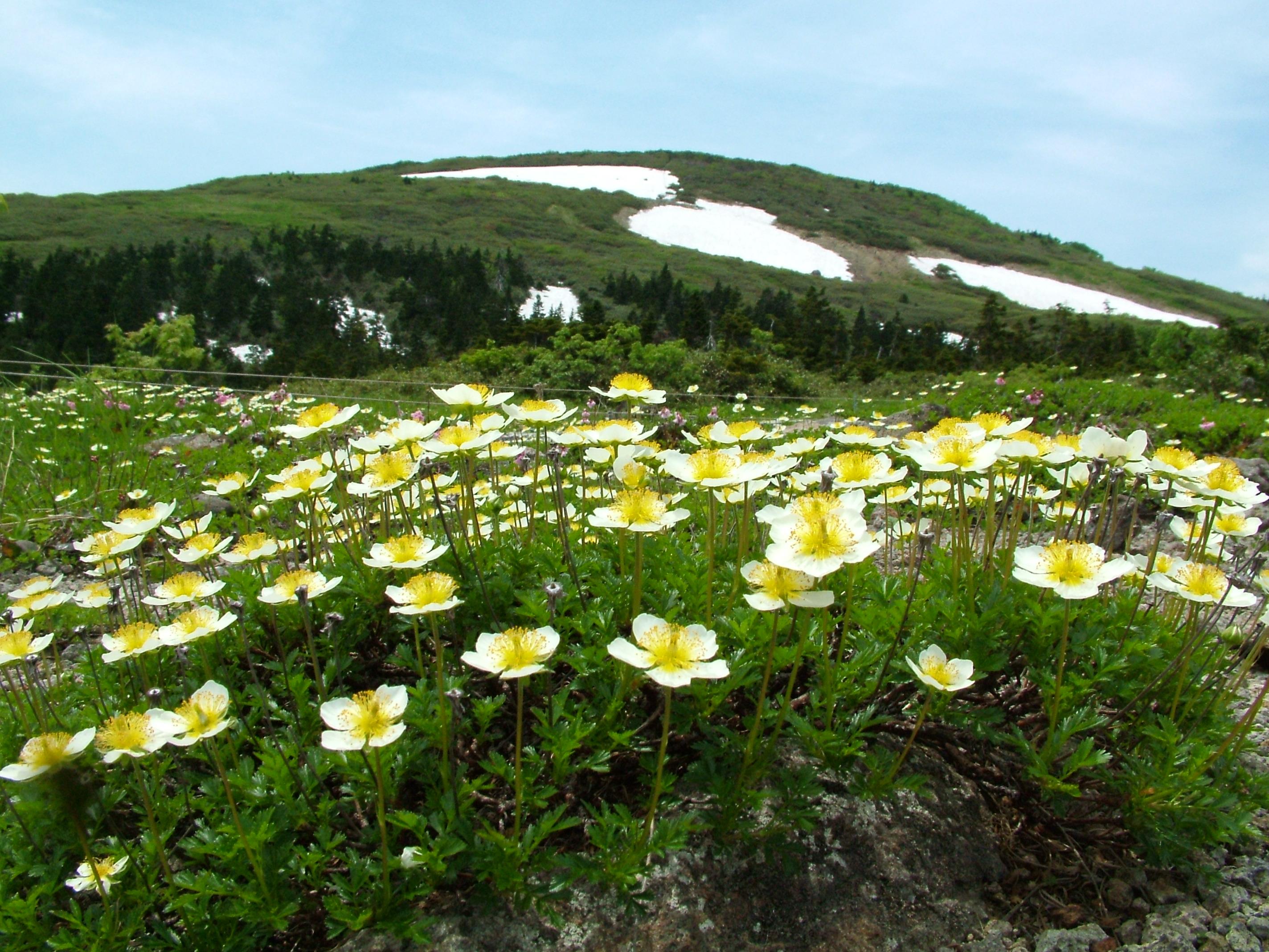 花咲く森吉山