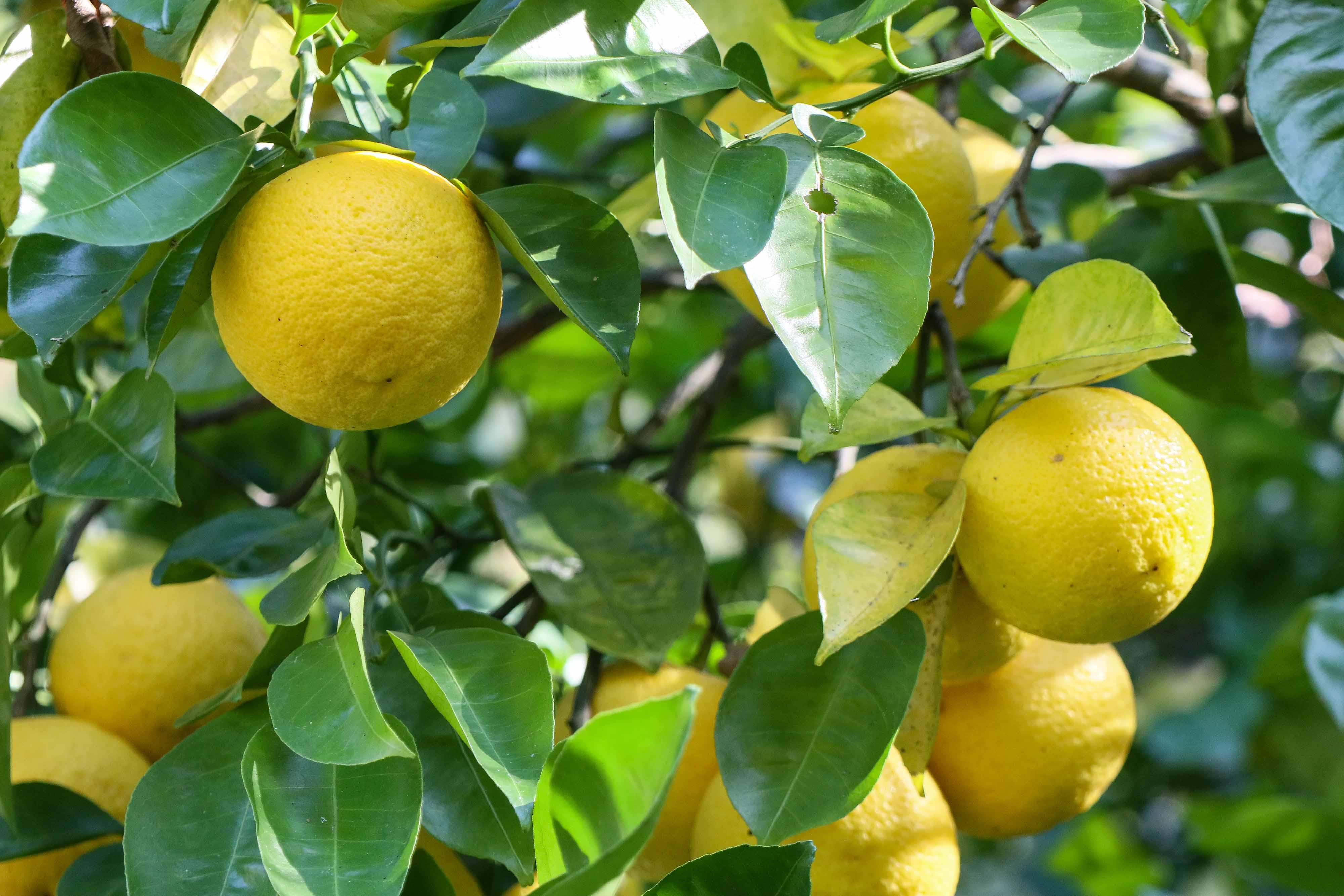 温暖な国東半島では柑橘類の栽培が盛ん
