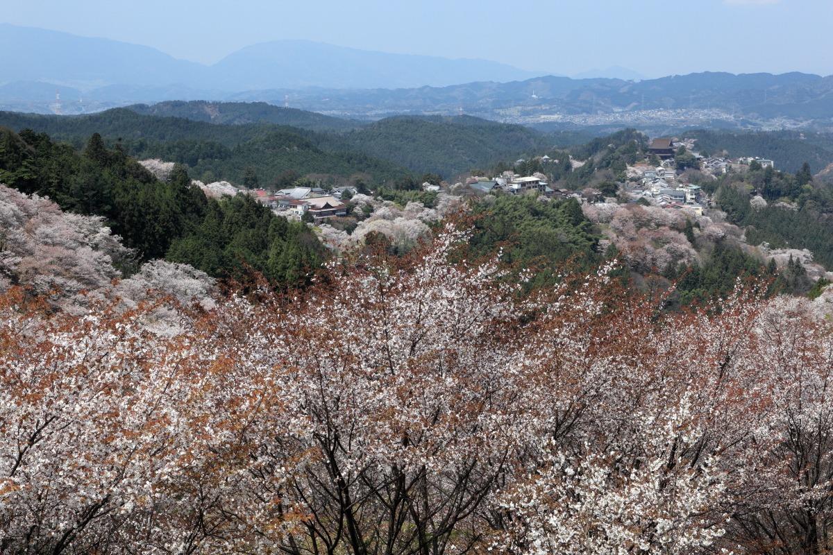 吉野山の上千本の桜