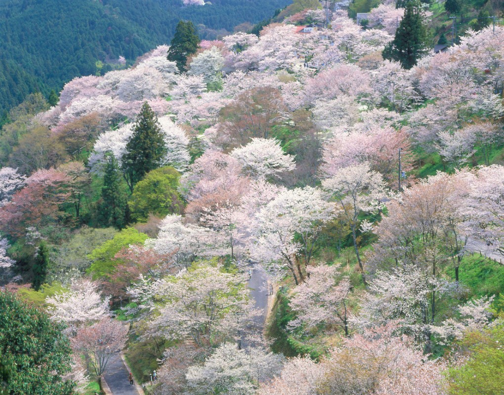 一度は見たい吉野の桜