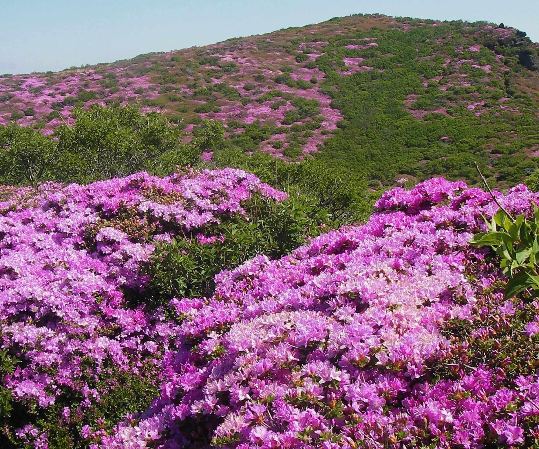 斜面一面に咲くミヤマキリシマ