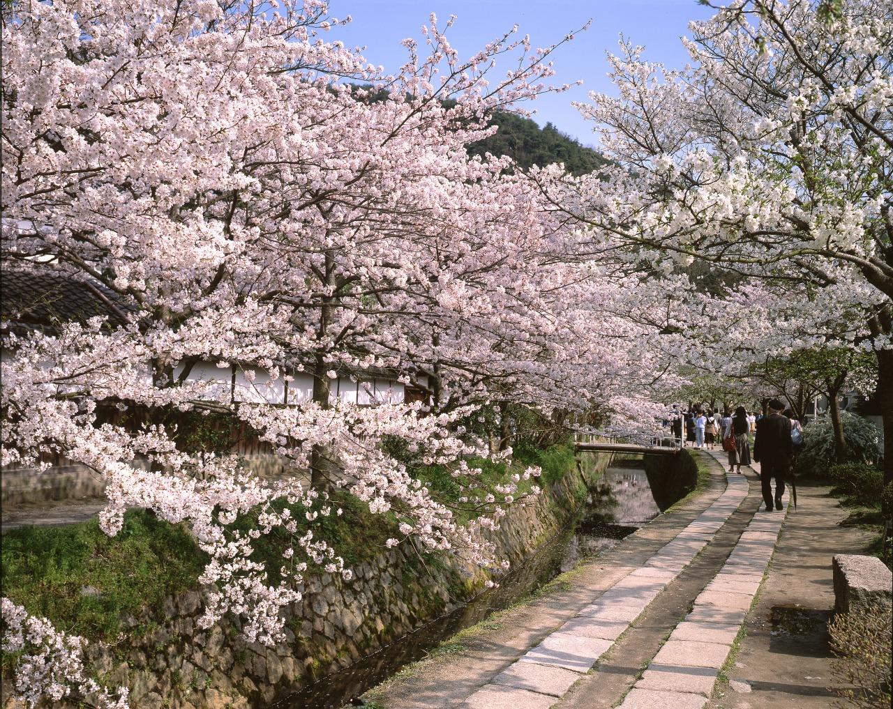 桜の季節に京都を満喫