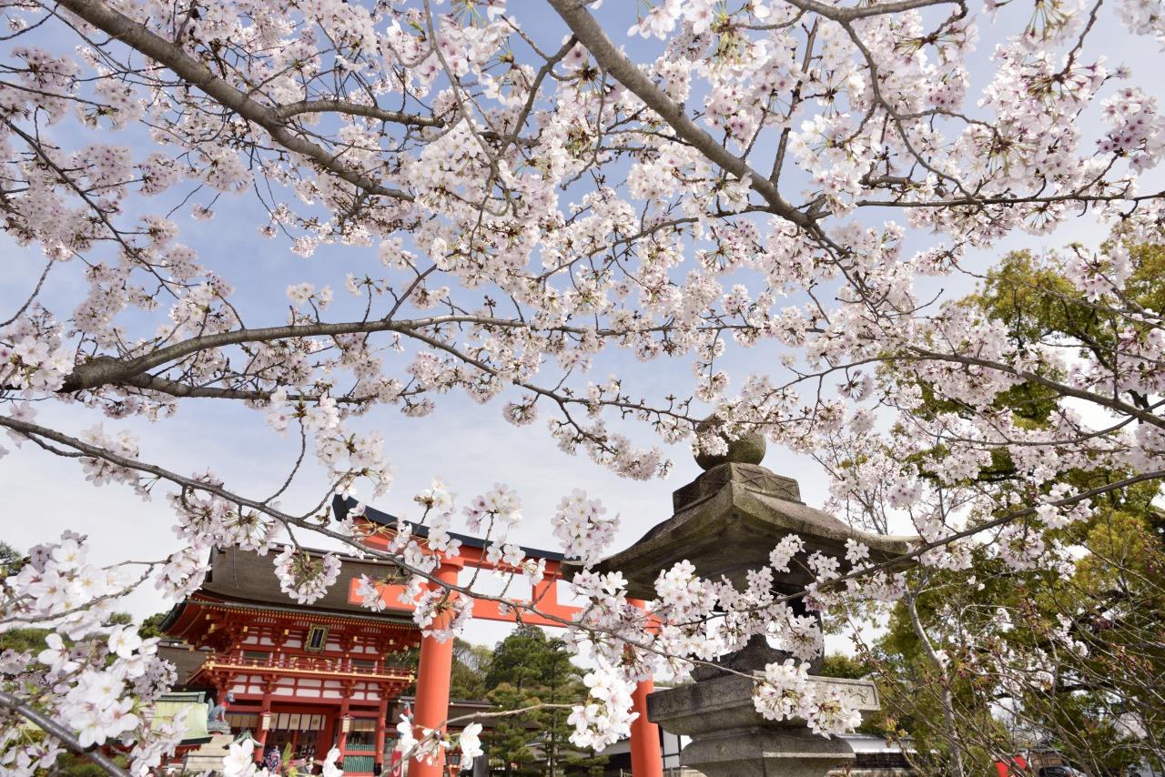 桜に彩られた伏見稲荷大社