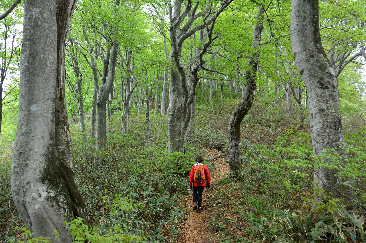 新保岳の見事なブナ林